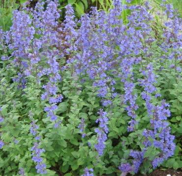 Purple plant that looks like lavender